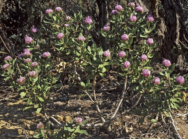 Isopogon sp.?latifolius