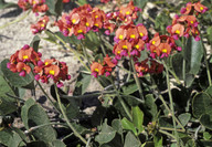 Kennedia coccinea