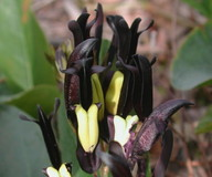 Kennedia nigricans