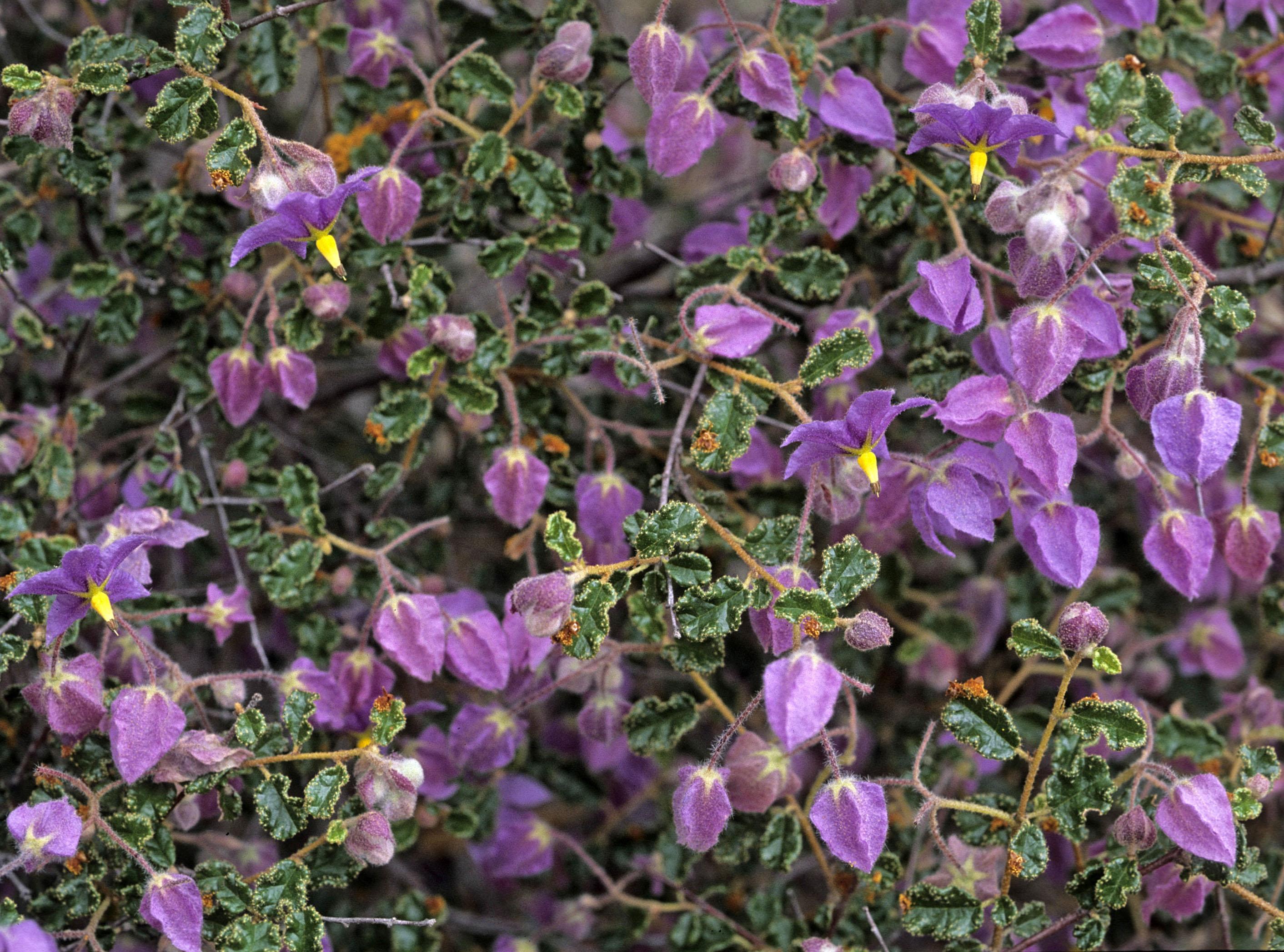 Keraudrenia hermanniaefolia