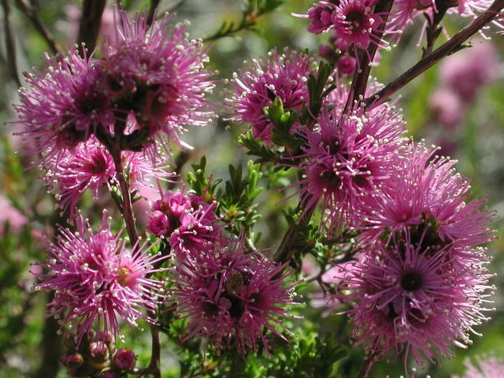 Kunzea parviflora