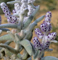 Lachnostachys verbascifolia