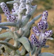 Lachnostachys verbascifolia