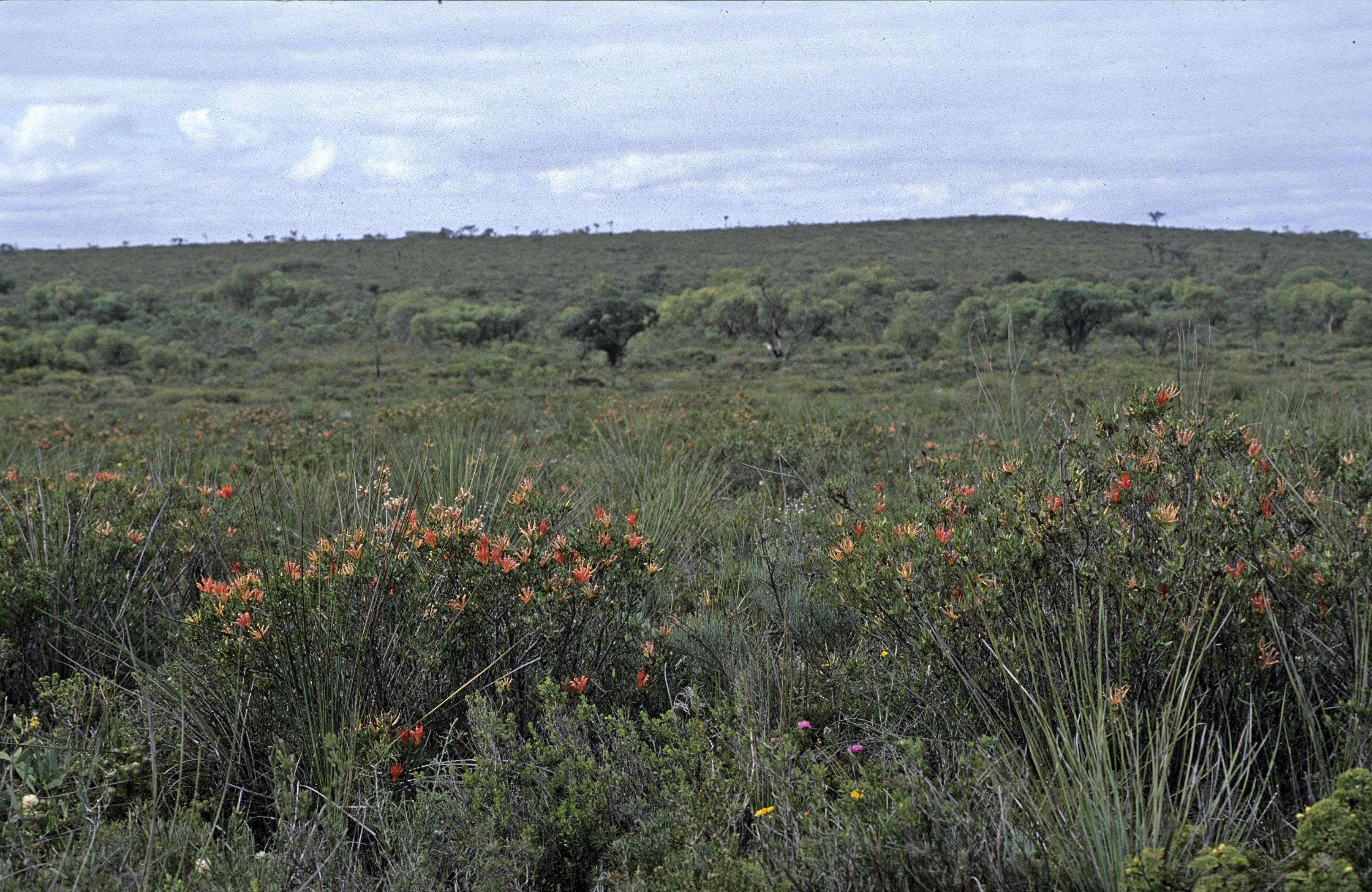 Lambertia multiflora