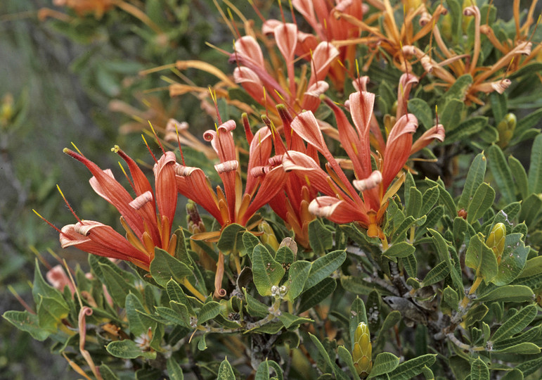 Lambertia multiflora