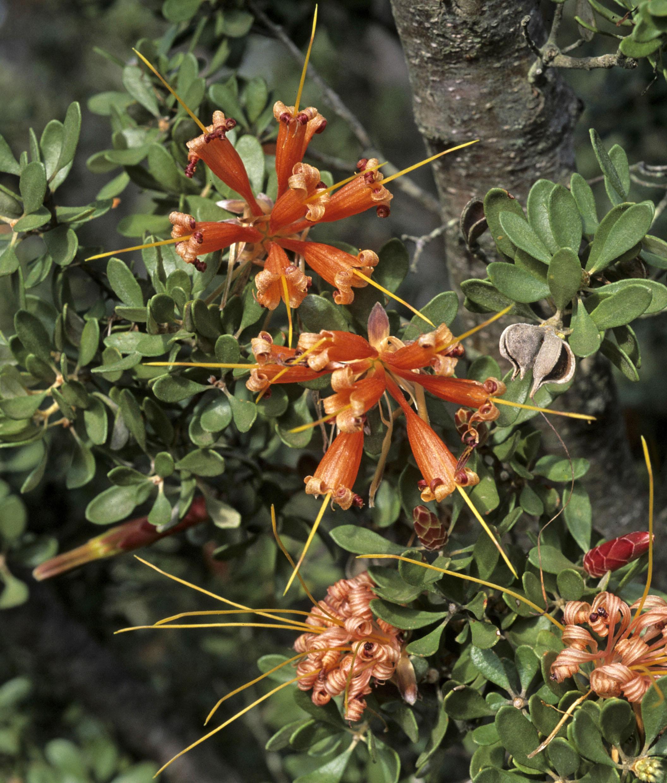 Lambertia inermis