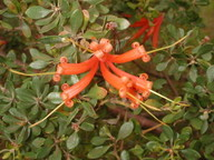 Lambertia inermis