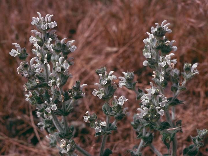 Salvia aethiops