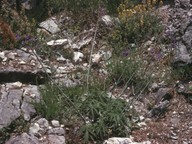 Salvia ringens
