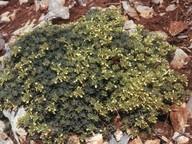 Teucrium montanum