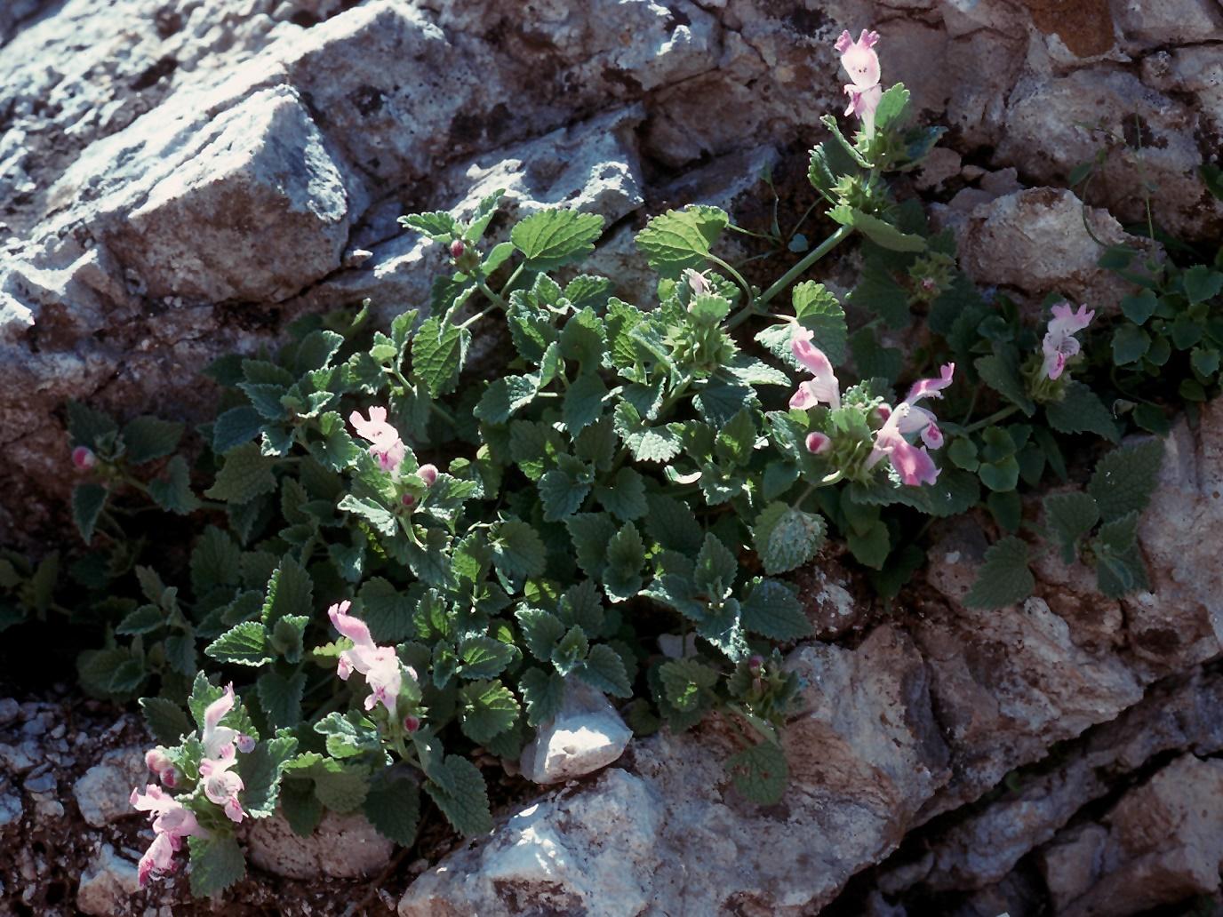 Lamium garganicum