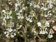 Salvia sp.5