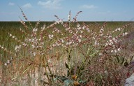 Salvia sp.2