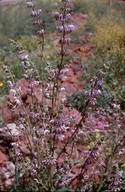 Salvia sp.4