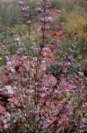 Salvia sp.4