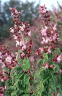 Salvia triloba