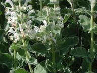 Salvia sp.1