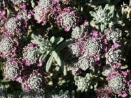 Teucrium polium ssp. polium