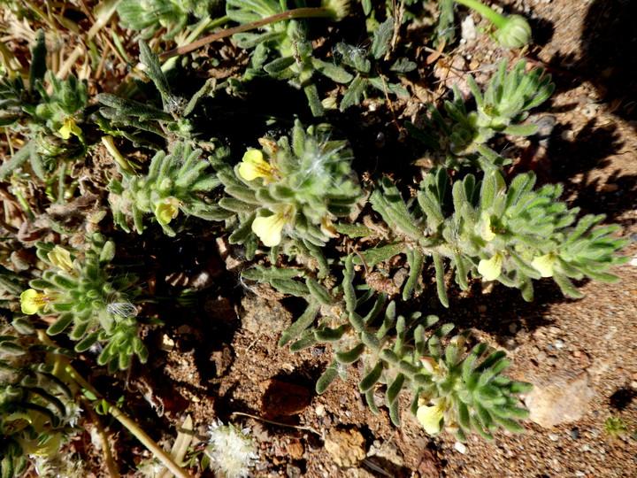 Ajuga iva ssp. pseudoiva