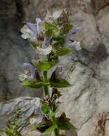 Salvia sp.6