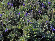 Lavandula pinnata