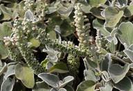 Sideritis spicata