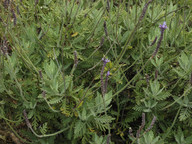 Lavandula minutolii