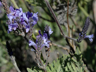 Lavandula buchii