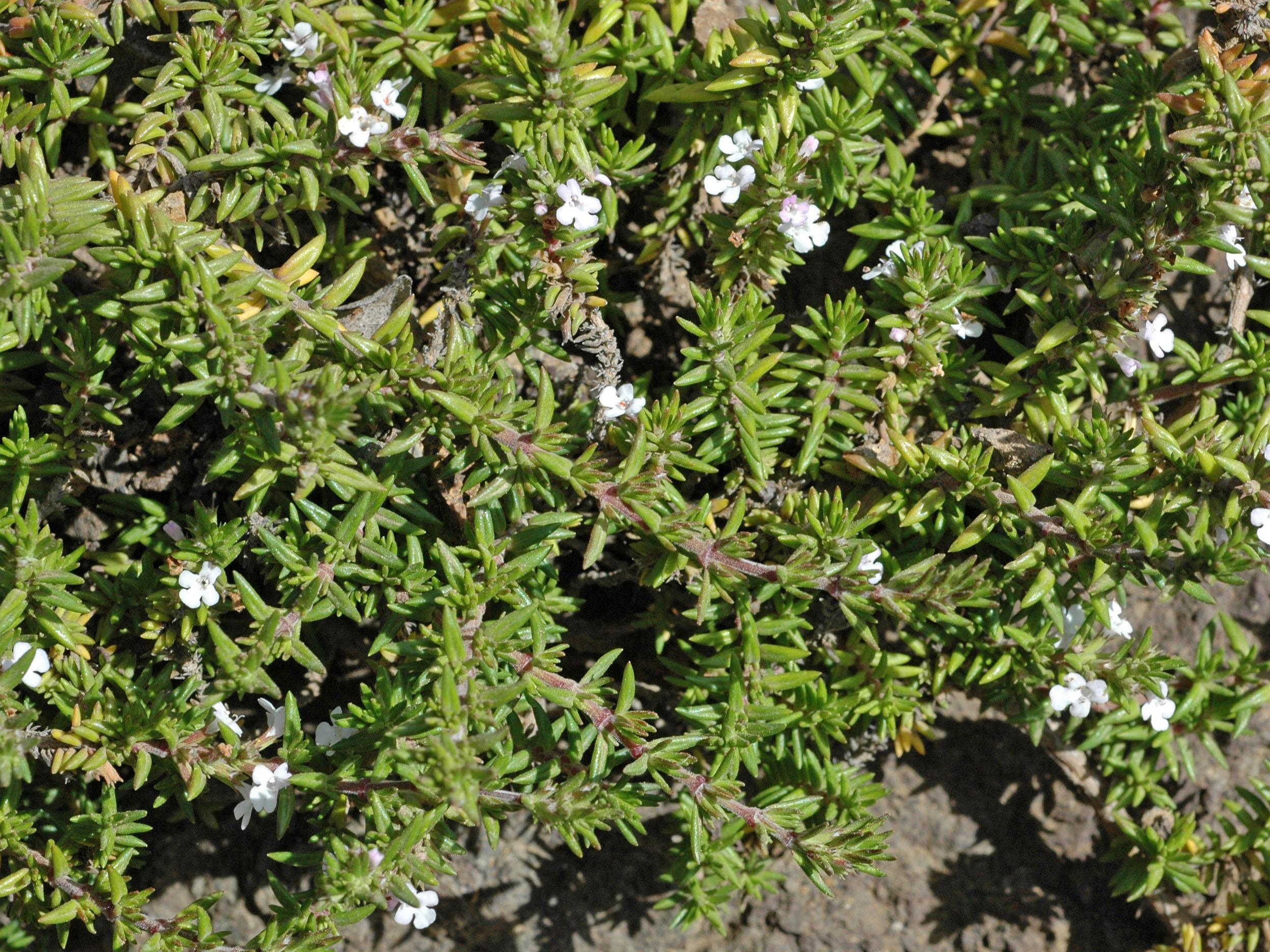 Micromeria varia