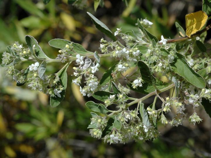 Bystropogon origanifolius