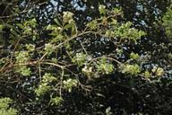 Bystropogon canariense