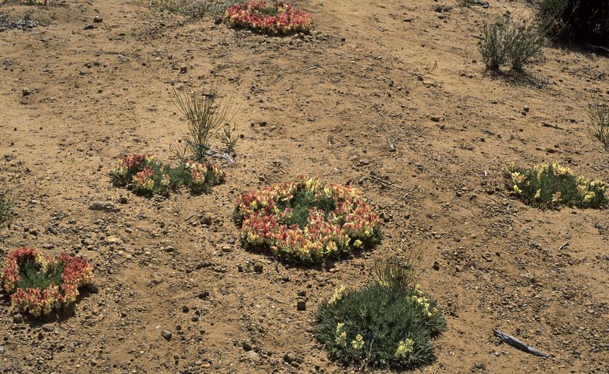 Lechenaultia macrantha