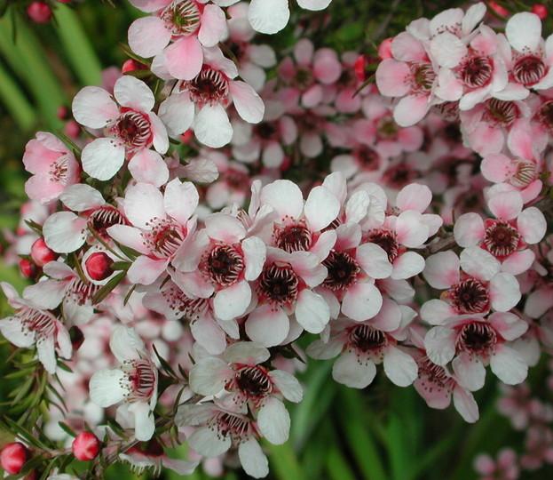 Leptospermum polygalifolium