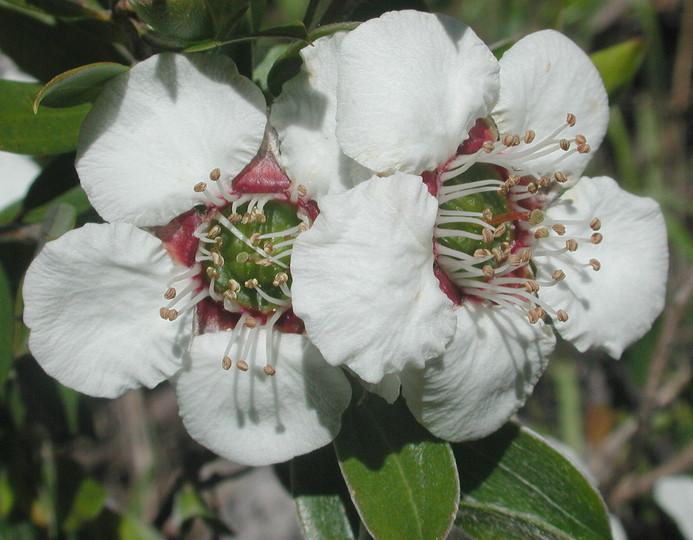 Leptospermum turbinatum