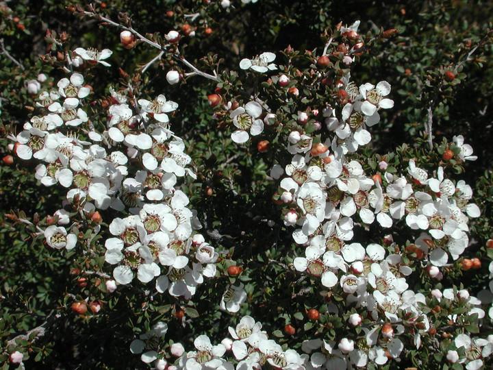 Leptospermum myrsinoides