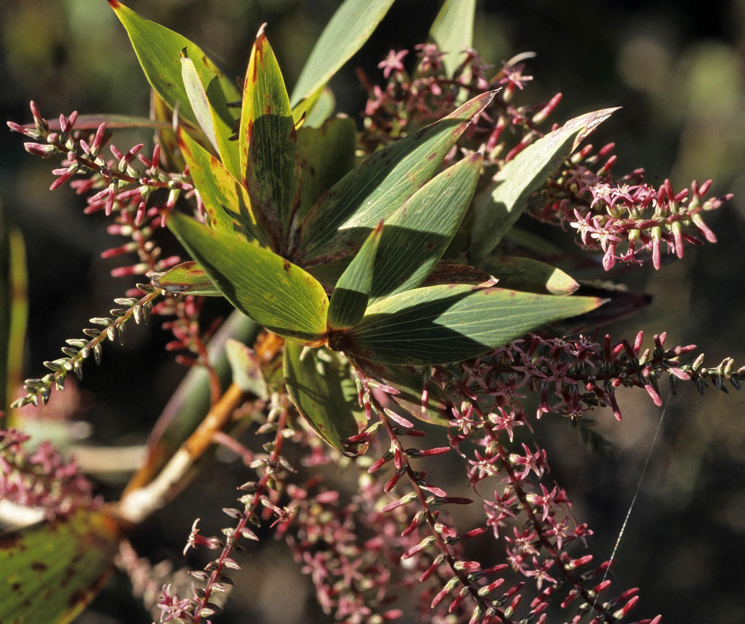 Leucopogon verticillatus