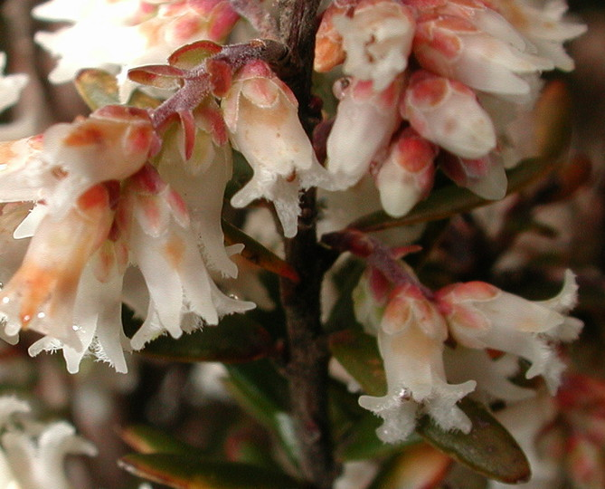 Leucopogon ericoides?