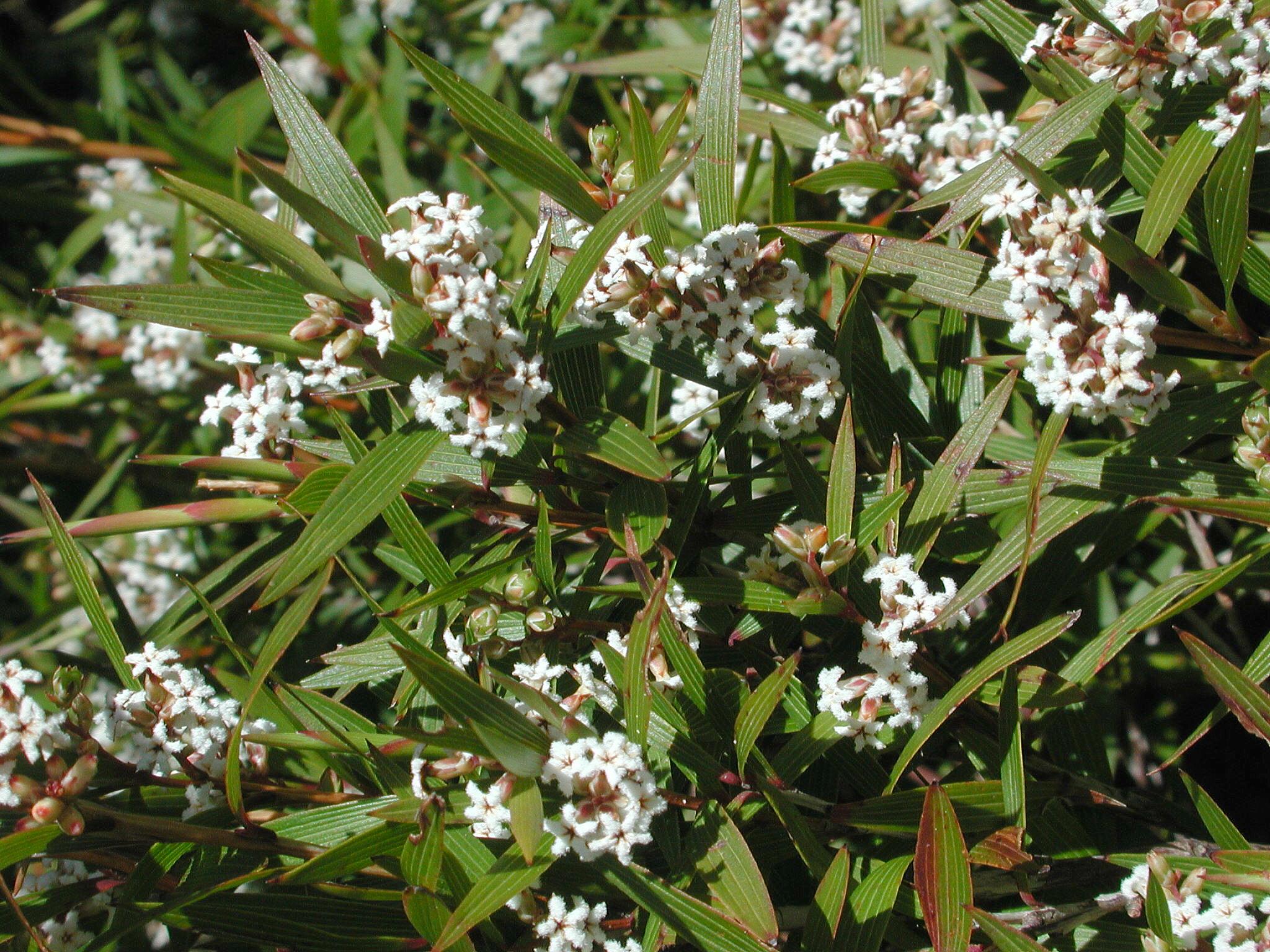 Leucopogon nervophyllus