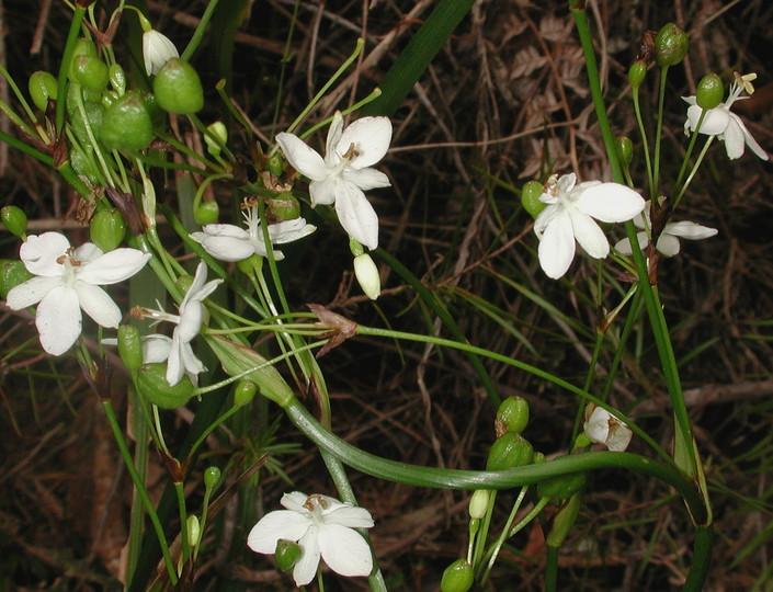 Libertia paniculata