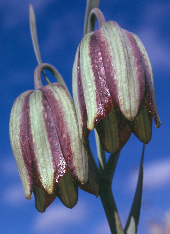 Fritillaria hispanica