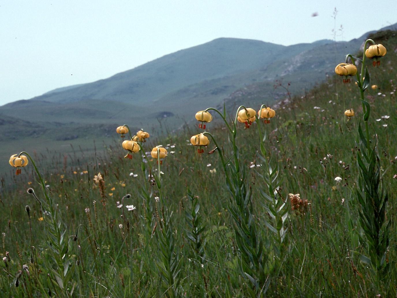 Lilium bosniacum
