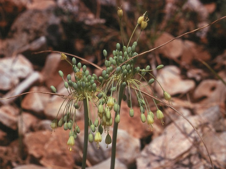 Allium flavum