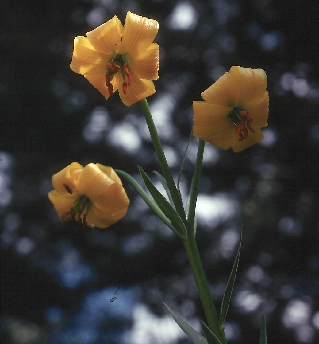 Lilium chalcedonicum?