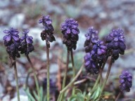 Muscari racemosum