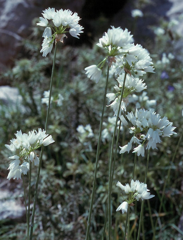 Allium roseum?