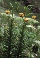 Lilium ponticum