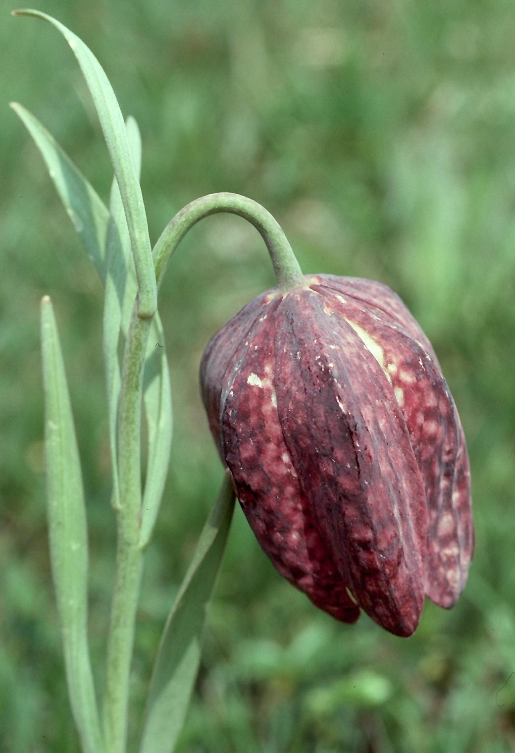 Fritillaria burnati