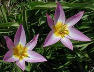 Tulipa bakeri
