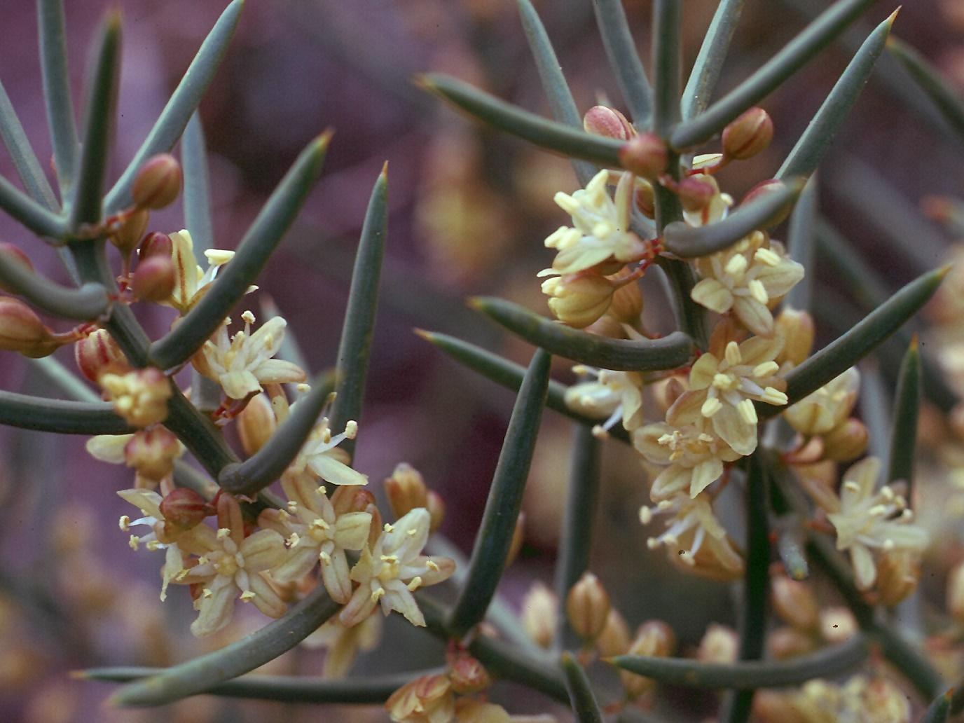 Asparagus stipularis
