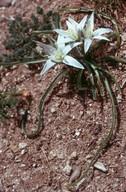 Ornithogalum umbellatum